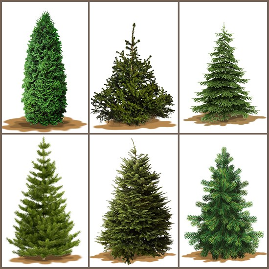 varieties-of-christmas-trees