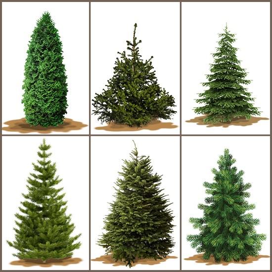 varieties-of-christmas-trees